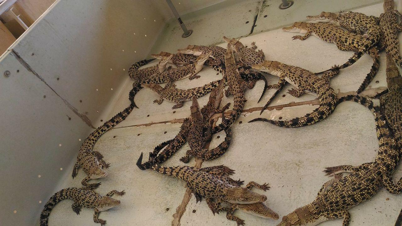palawan, crocodile